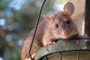 Rat Control, Pest Control in Tolworth, Berrylands, KT5. Call Now 020 8166 9746