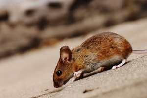 Mice Exterminator, Pest Control in Tolworth, Berrylands, KT5. Call Now 020 8166 9746