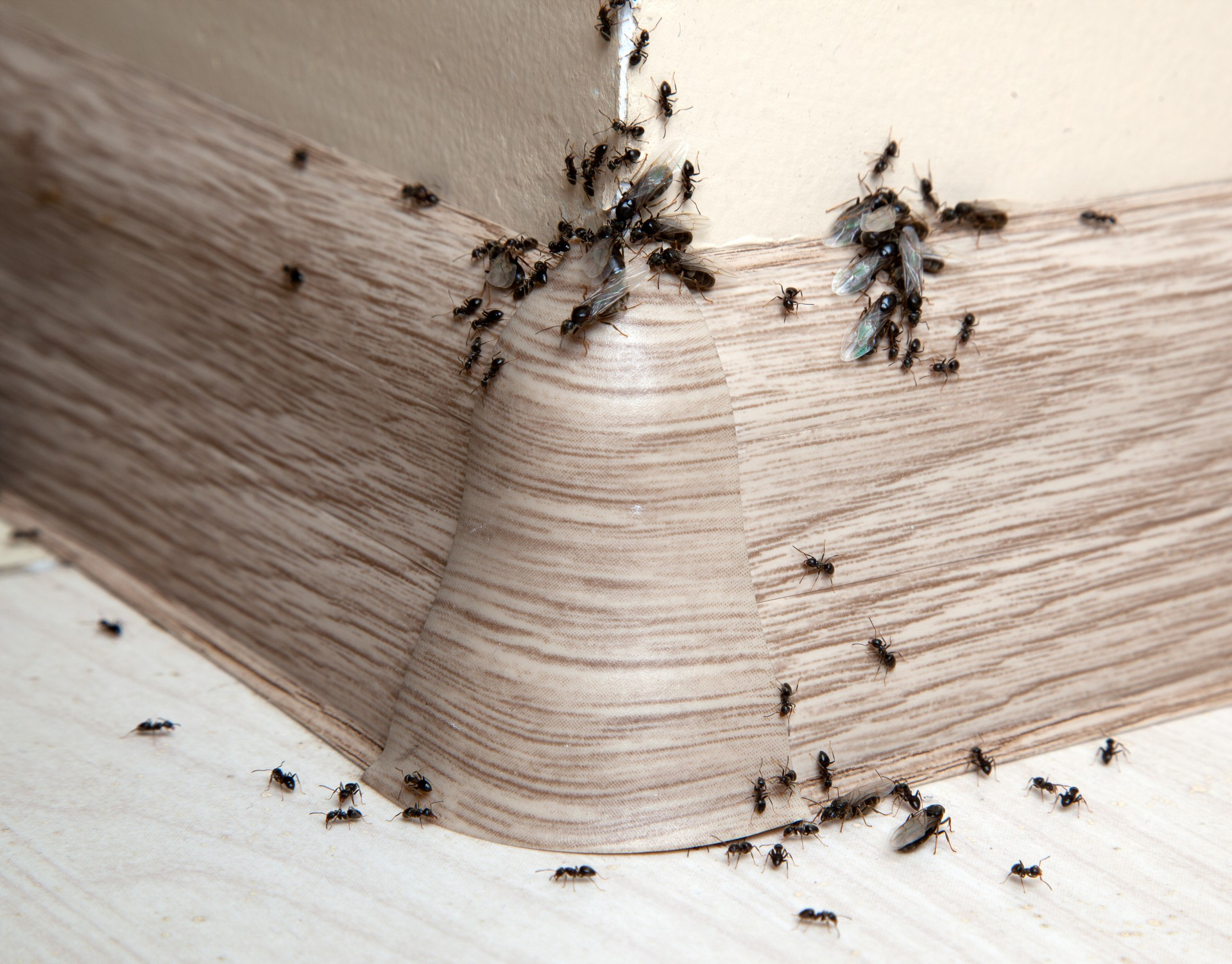 Ant Infestation, Pest Control in Tolworth, Berrylands, KT5. Call Now 020 8166 9746
